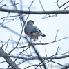 Cooper's Hawk visiting the feeders at the <br /> Lesser Goldfinch site in Nixa, Christian County, MO