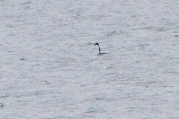 Western Grebe <br /> Table Rock Lake