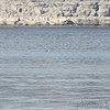 A very lousy photo of a Red-throated Loon I think. <br /> Table Rock Lake
