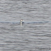 Common Loon <br /> Table Rock Lake