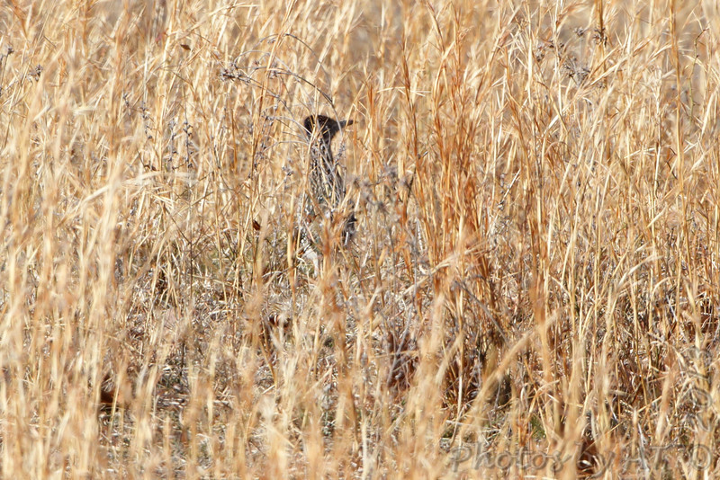 Greater Roadrunner <br /> Cross Timber Road a third of a mile from hwy160<br /> Road to Hercules Glade Wilderness