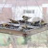 American Goldfinches <br /> City of Bridgeton <br /> St. Louis County, Missouri <br /> 1/31/13