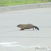 Groundhog <br /> Hazelwood on Industrial Dr between <br /> Lindbergh and Fee Fee Rd.