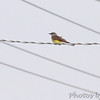 Western Kingbird <br /> Hazelwood on Industrial Dr between <br /> Lindbergh and Fee Fee Rd.