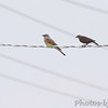 Western Kingbird and Brown-headed Cowbird <br /> Hazelwood on Industrial Dr between <br /> Lindbergh and Fee Fee Rd.