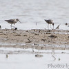 Stilt Sandpipers <br /> Keeteman Sod Farm Road