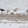 Stilt Sandpipers  <br /> and Lesser Yellowlegs<br /> Keeteman Sod Farm Road
