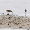 Long-billed Dowitcher <br /> and Lesser Yellowlegs<br /> Keeteman Sod Farm Road