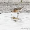 Short-billed Dowitcher <br /> Wise Road <br /> Riverlands Migratory Bird Sanctuary