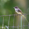 Eastern Phoebe <br /> Russelville, MO