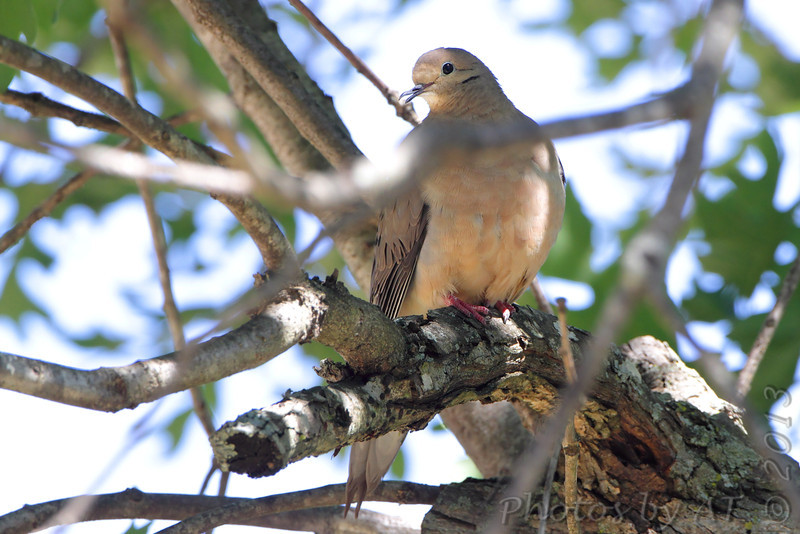 Mourning Dove <br /> Russelville, MO