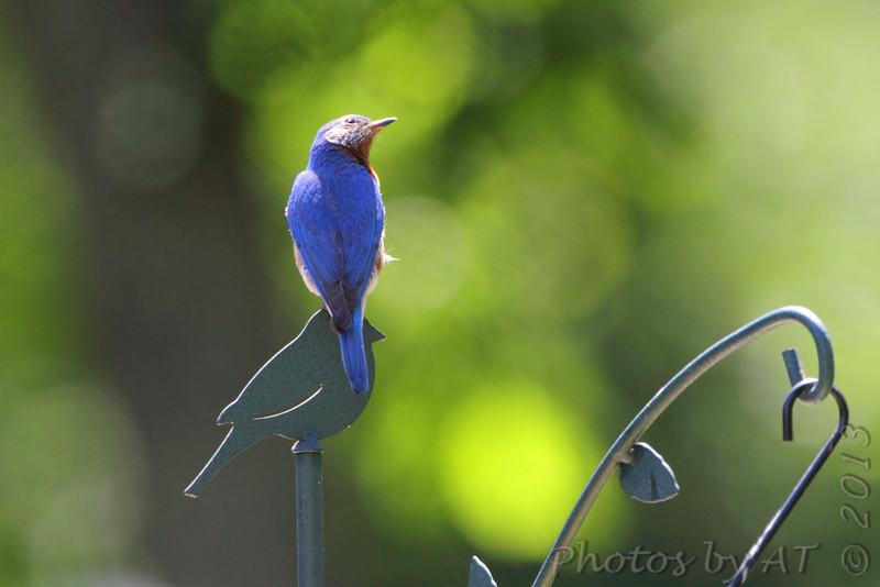Eastern Bluebird <br /> Russelville, MO
