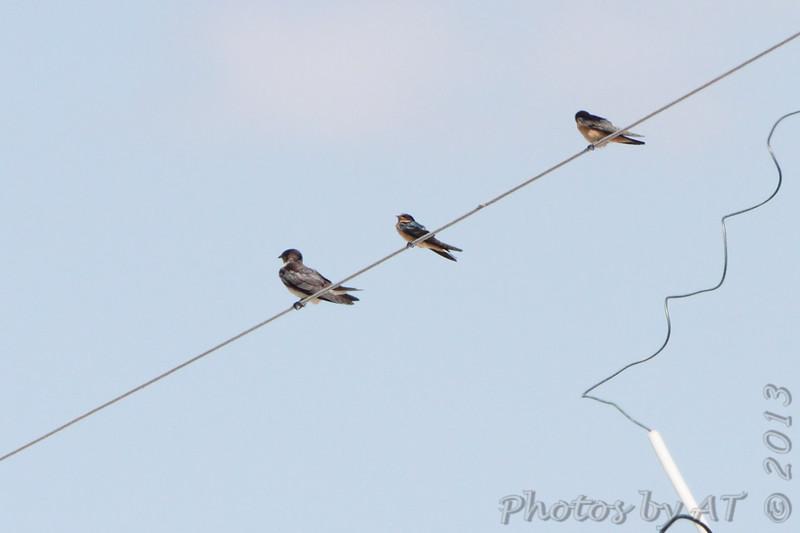 Purple Martin and Barn Swallows <br /> Bridgeton, Mo.