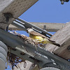 Western Kingbird and nest <br /> Bridgeton Municipal Athlete Complex (BMAC)<br /> Bridgeton, MO