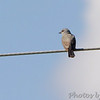 Western Kingbird <br /> Bridgeton, Mo.