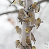 American Goldfinches <br /> Bridgeton, Mo. <br /> 03/01/2013