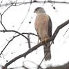 Cooper's Hawk <br /> Bridgeton, Mo. <br /> 03/17/2013 <br /> 1:27pm