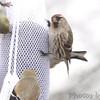 Common Redpoll (female) <br /> Bridgeton, Mo. <br /> 03/14/2013 <br /> 12:20pm