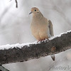 Mourning Dove <br /> Bridgeton, Mo. <br /> 03/01/2013
