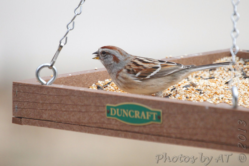 American Tree Sparrow <br /> Shot thru front window  <br /> Bridgeton, Mo. <br /> 03/06/2013