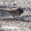 Dark-eyed Junco (Oregon) <br /> Shot thru basement door <br /> Bridgeton, Mo. <br /> 03/06/2013