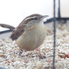 Carolina Wren <br /> Bridgeton, Mo. <br /> 03/01/2013