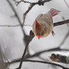 Northern Cardinal <br /> Bridgeton, Mo. <br /> 03/01/2013