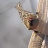 Common Redpoll (male) <br /> Bridgeton, Mo. <br /> 03/12/2013
