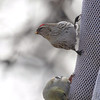 Common Redpoll (female) <br /> Bridgeton, Mo. <br /> 03/23/2013