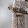 Common Redpoll (female) <br /> Bridgeton, Mo. <br /> 03/15/2013 <br /> 12:48pm
