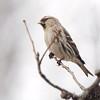 Common Redpoll (female) <br /> Bridgeton, Mo. <br /> 03/04/2013