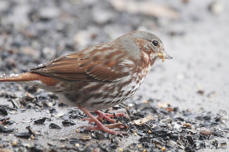 Fox Sparrow <br /> Bridgeton, Mo. <br /> 03/05/2013
