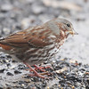 Fox Sparrow <br /> Bridgeton, Mo. <br /> 03/05/2013