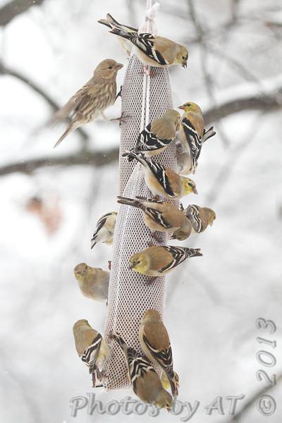 American Goldfinches <br /> Bridgeton, Mo. <br /> 03/01/2013