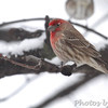 House Finch <br /> Bridgeton, Mo. <br /> 03/01/2013