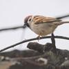 Eurasian Tree Sparrow <br /> Bridgeton, Mo. <br /> 03/14/2013 <br /> 12:58pm