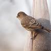 House Finch (female) <br /> Bridgeton, Mo. <br /> 03/12/2013