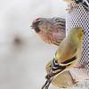 Common Redpoll (male) <br /> Bridgeton, Mo. <br /> 03/07/2013