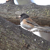 Dark-eyed Junco (Oregon) <br /> Bridgeton, Mo. <br /> 03/06/2013