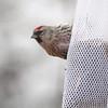 Common Redpoll (male) <br /> Bridgeton, Mo. <br /> 03/08/2013