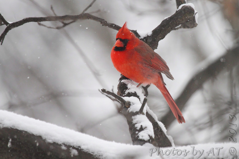 Northern Cardinal <br /> Bridgeton, Mo. <br /> 03/01/2013