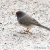 Dark-eyed Junco (Cassiar) <br /> (Rocky Mountain Junco) <br /> Shot thru basement door <br /> Bridgeton, Mo. <br /> 03/21/2013<br /> 5:26pm