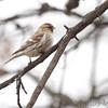 Common Redpoll (female) <br /> Bridgeton, Mo. <br /> 03/17/2013 <br /> 12:58pm