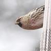Common Redpoll (male)<br /> Bridgeton, Mo. <br /> 03/04/2013