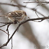 Common Redpoll (female) <br /> Bridgeton, Mo. <br /> 03/20/2013 <br /> 12:18pm