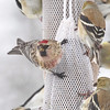 Common Redpoll (male) <br /> Bridgeton, Mo. <br /> 03/01/2013