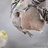 Common Redpoll (female) <br /> Bridgeton, Mo. <br /> 03/16/2013 <br /> 9:48am