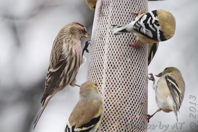 Common Redpoll <br /> and American Goldfinch <br /> Bridgeton, Mo. <br /> 03/05/2013