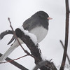 Dark-eyed Junco  (Slate-colored) <br /> Bridgeton, Mo. <br /> 03/01/2013
