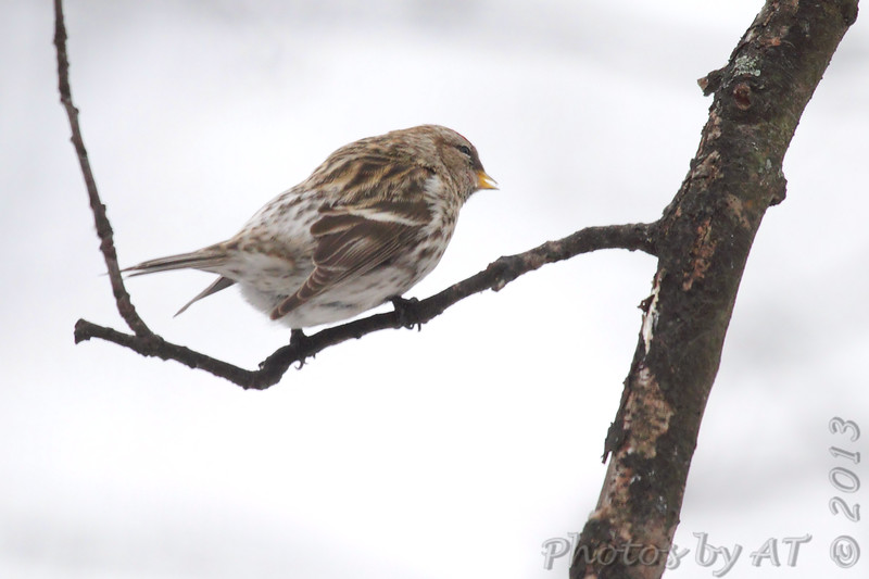 Common Redpoll <br /> Bridgeton, Mo. <br /> 03/06/2013